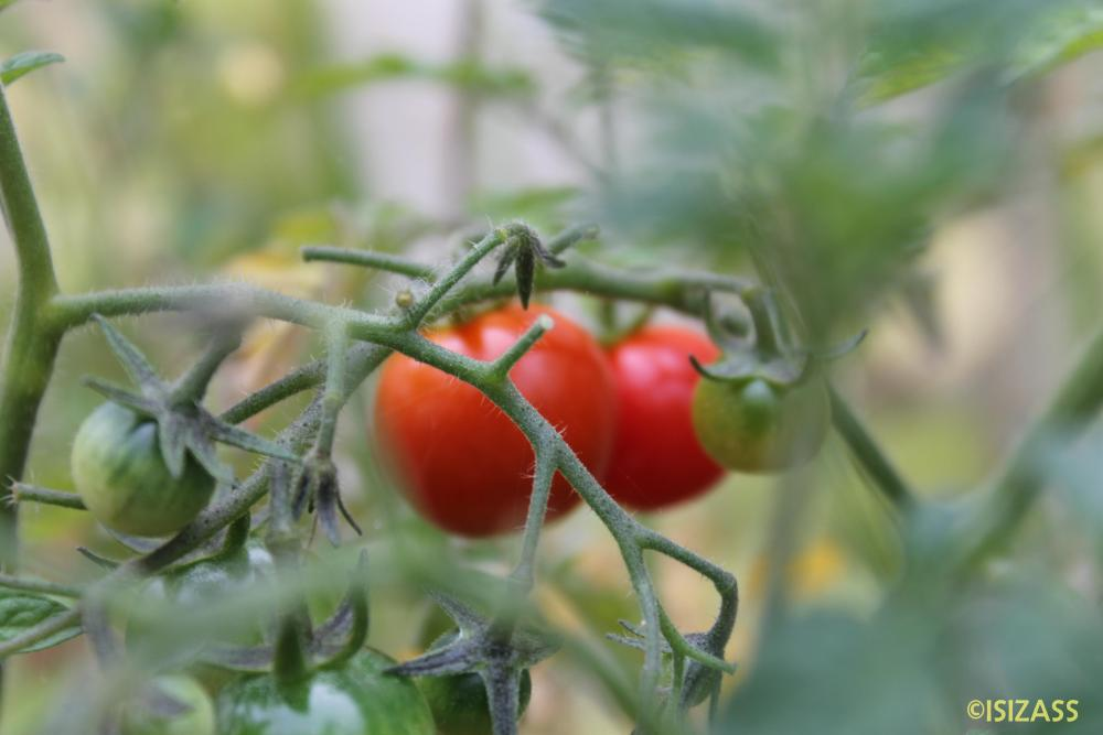 Tomatoes Galore (1/2)