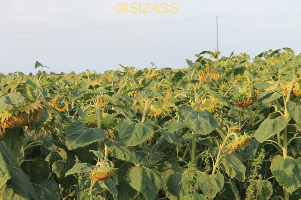 The Sunflower (3/6)