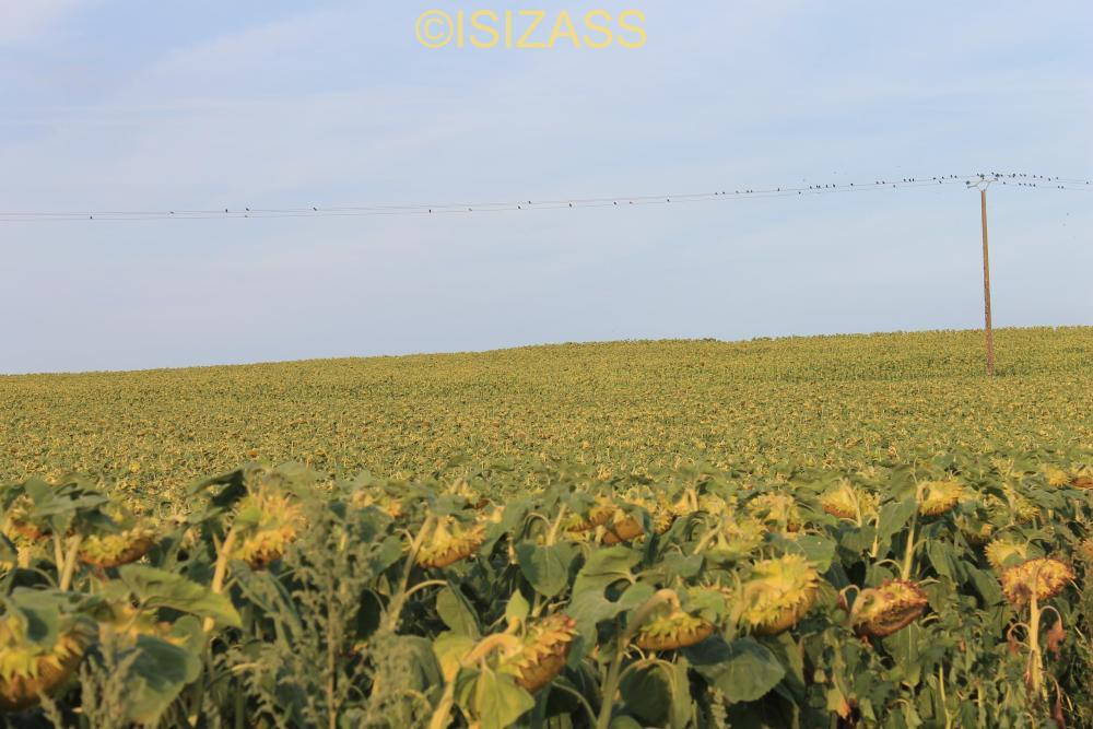 The Sunflower (2/6)