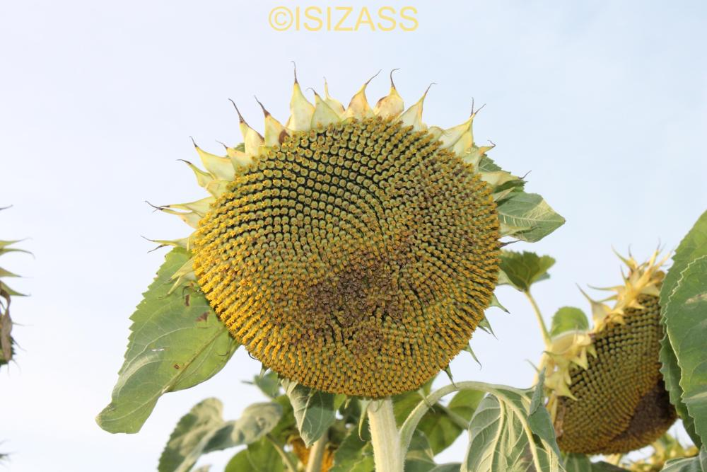 The Sunflower (5/6)