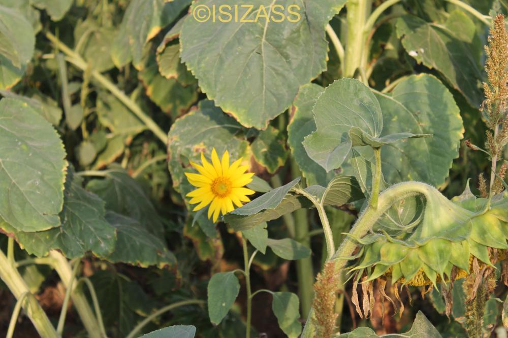 The Sunflower (6/6)