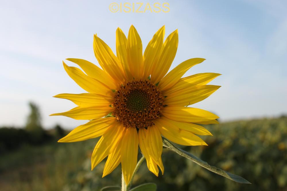 The Sunflower (1/6)